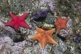 Bat Stars with Purple Sea Urchins