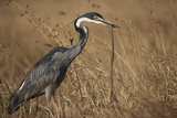 Black-Headed Heron Eating a Snake