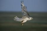 White Arctic Gyrfalcon in Flight