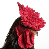 Derbyshire Redcap Rooster