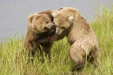 Brown (Grizzly) Bears Play Fighting