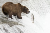 Brown (Grizzly) Bear about to Catch a Leaping Salmon