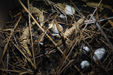 Young Saltwater Crocodiles and Eggs in Nest