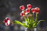 A Vase of Red and White Tulips Sitting in a Window in the Sunshine