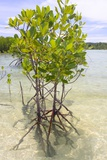 Young Mangrove Trees