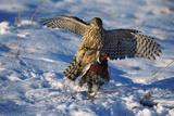 Male Goshawk Catching a Pheasant