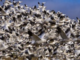 Snow Geese in Flight with a Bluse Sky Day