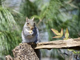 Gray Squirrel  Mcleansville  North Carolina  USA