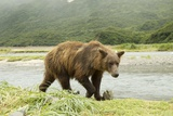 Brown Bear by River
