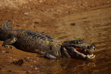 Black Caiman Sunbathing
