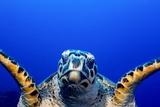 Green Turtle (Chelonia Mydas) Papier Photo par Stephen Frink