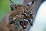Bobcat Snarling