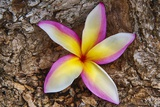 Tropical Gardens with close up of a Plumeria Flower