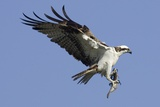 Osprey Landing with Fish in it's Talons