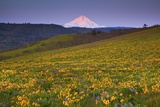 Sunrise over Wildflowers and Mt Hood  Columbia River Gorge National Scenic Area  Oregon