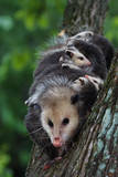 American Opossum with Young