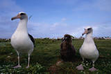 Nesting Pair Laysan Albatross Standing with a Chick