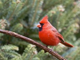 Northern Cardinal Perching on Branch  Mcleansville  North Carolina  USA
