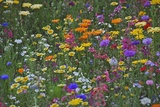 Colorful Wildflower Mixture