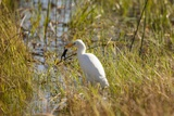 Great Egret Catching Frog