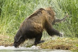 Brown Bear on River Bank