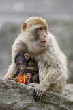 A Barbary Macaque Baby Feeding in the Arms of the Mother