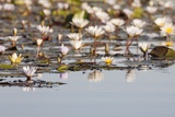 Wild Water Lilies