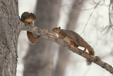 Fox Squirrels on Tree Branch