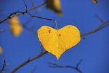 Heart Shaped Cottonwood Leaf