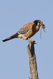 American Kestrel Eating a Rodent