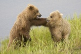 Brown (Grizzly) Bears