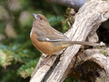 Rufous Towhee  Mcleansville  North Carolina  USA