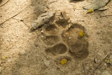 Jaguar Track in Sand