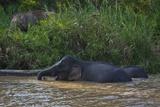Bornean Pygmy Elephants (Elephas Maximus Borneensis)