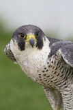 Peregrine Falcon Close-Up