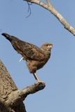 Savanna Hawk Perched