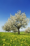 Cherry Plantation in Bloom