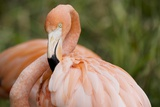 American Flamingo Taking Care of its Feathers