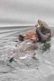 Southern Sea Otters Eats a Crab
