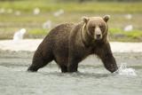 Brown Bear in River