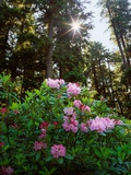 Douglas Firs and Rhododendrons