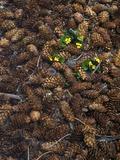 Wild Violas and Spruce Cones
