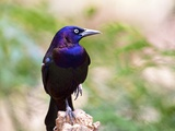 Common Grackle  Mcleansville  North Carolina  USA