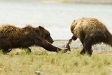 Brown Bears Fighting over Fish