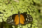 A Tropical Butterfly Rests on a Fern Leaf