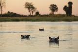 Hippopotamus  Botswana