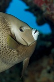 Gray Angelfish (Pomacanthus Arcuatus)