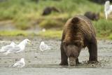 Brown Bear with Sea Gull