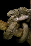 Elaphe Carinata (King Ratsnake  Taiwan Stink Snake)