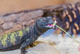 Uromastyx Lizard Papier Photo par Gary Carter